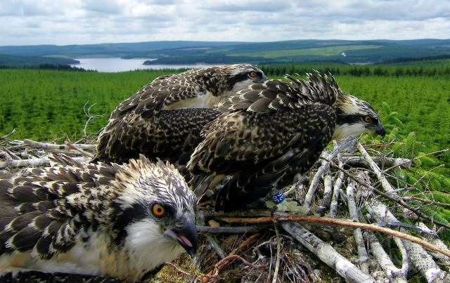 The 2010 Kielder osprey chicks on the nest 1 (c) Forestry Commission