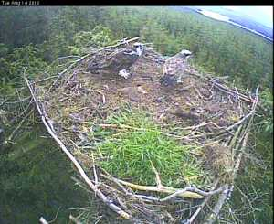 A shot from the 2012 nestcam. Image from the Forestry Commission camera