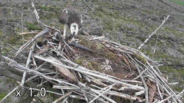 Yellow 37 being a new man and feeding his chicks. (c) Forestry Commission