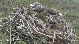 Yellow 37, the female and the 2 surviving 2012 chicks.  (c) Forestry Commission