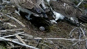Mrs 37 lets 37 have his first view of their egg (c) Forestry Commission