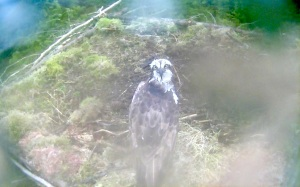 A nice pose from the new female on Nest 1 (c) Forestry Commission