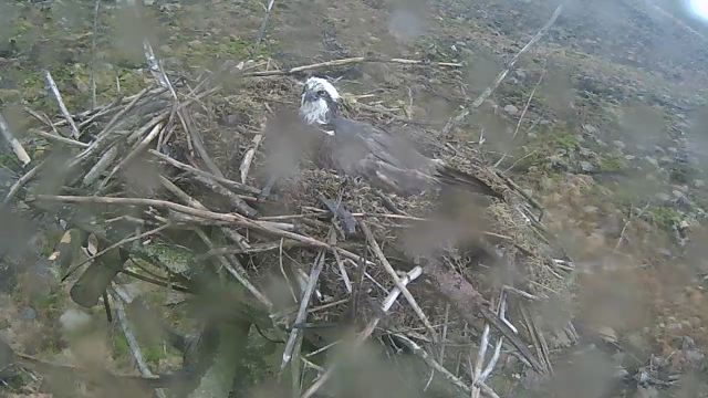The Nest 2 female sits on the egg cup on the rather dishevelled nest. (c) Forestry Commission