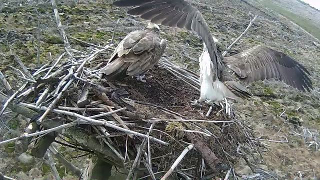Mrs 37 has just landed and 37 gets ready to give her an affectionate 'hello' (c) Forestry Commission