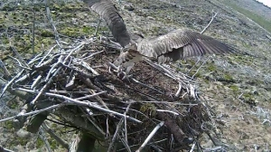 37 lands with a small stick. (c) Forestry Commission