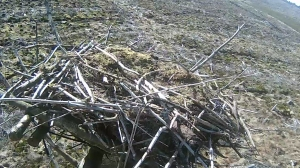 The damage to Nest 2 is clear, but superficial. (c) Forestry Commission