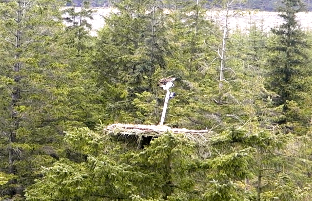 Yellow 37 lands on top of the camera pole for Nest 1. (c) Forestry Commission