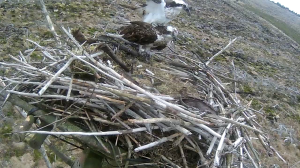 One of many mating  attempts on Nest 2. (c) Forestry Commission