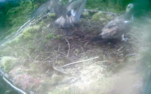 Tension on Nest 1 as the 'new' female stays put (c) Forestry Commission