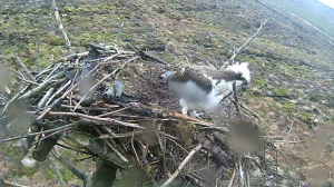 37 moves a stick on his nest. (c) Forestry Commission