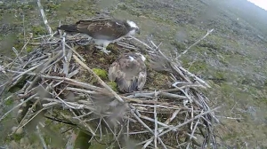 37 pops in but Mrs 37 stays right down on the eggs (c) Forestry Commission