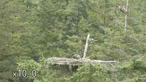 YA watches from the tree as Mrs YA has lunch at the edge of Nest 1 (c) Forestry Commission