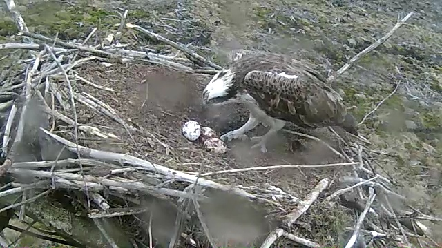 Mrs 37 checks her three eggs. Last one on the left. (c) Forestry Commission
