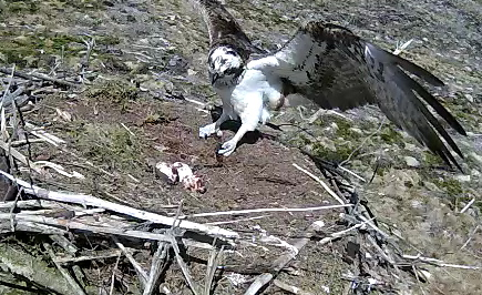 Mrs 37 keeps her eye on the eggs whilst landing (c) Forestry Commission