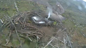 37 drops in and drops a stick on Mrs 37's back (c) Forestry Commission