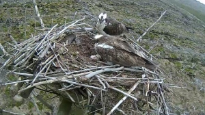 37 drops in to see the eggs and sit by Mrs 37 for a few minutes. (c) Forestry Commission