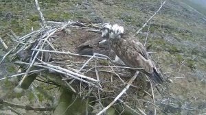 Mrs 37 sits on the edge of the nest waiting for 37 to let her get on with incubating (c) Forestry Commission