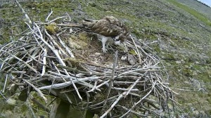 Mrs 37 stands by the egg shell of chick 3, visible in front of the other two (Forestry Commission