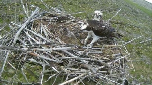 37 feeds his offspring (c) Forestry Commission