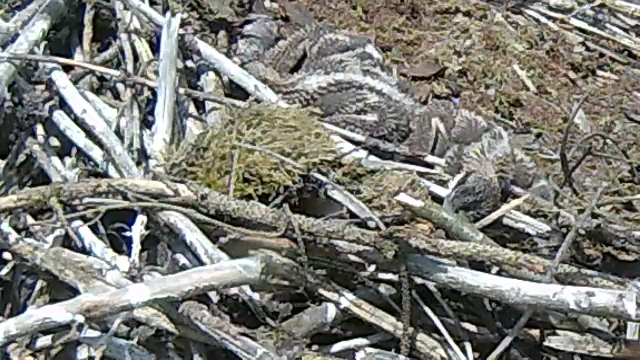 well camouflaged chicks (c) Forestry Commission