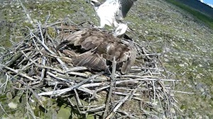 An intruder lands on Nest 2, GO AWAY (c) Forestry Commission