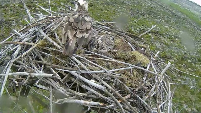First view for humans in four days- all safe on Nest 2 (c) Forestry Commission