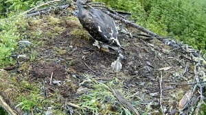 A later snack for the chick (c) Forestry Commission