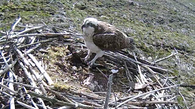 Where's dad going? Chick 1 follows 37s flight away (c) Forestry Commission