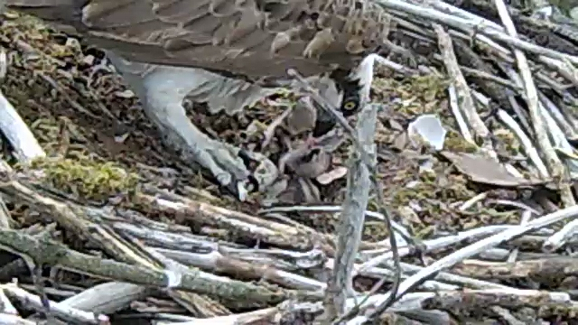 Mrs 37 makes an efforrt to feed the less demandind chick (c) Forestry Commission