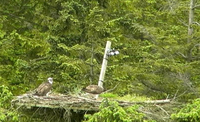 ...then back to the nest in the afternoon. (c) Forestry Commission