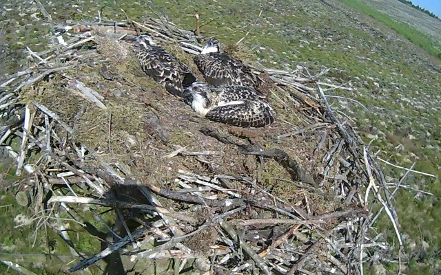 Three ringed ospreys chicks enjoy the sun (c) Forestry Commission