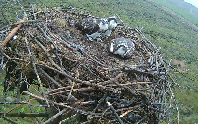 Wet chicks on Nest 2 (c) Forestry Commission