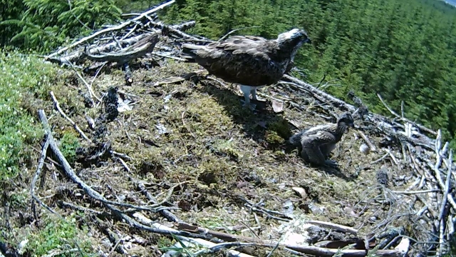 A good view of the chick out of mum's shadow (c) Forestry Commission