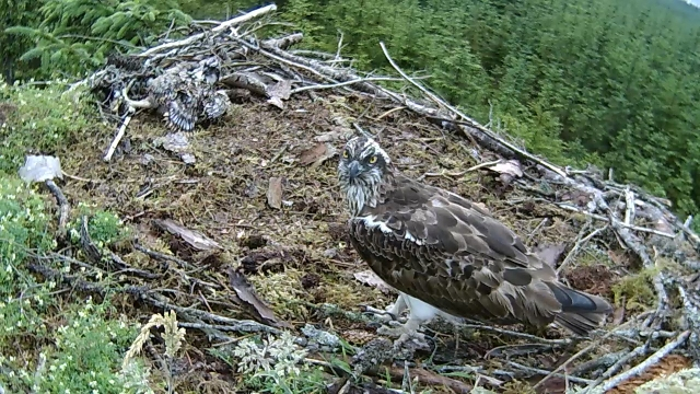 Mrs YA comes to the nest after the rain! (c) Forestry Commission