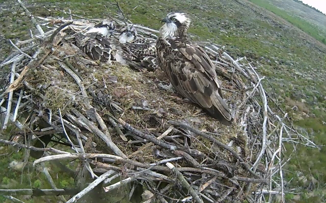 Mrs 37 wonders when the chicks are going to do anything (c) Forestry Commission