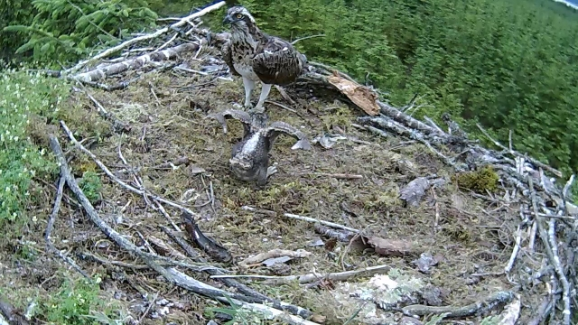 Look at my wings, mum! (c) Forestry Commission