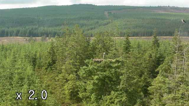 YA and Mrs YA are back in trees near the nest (c) Forestry Commission