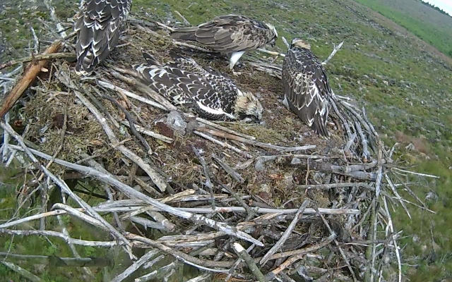 Last view of Nest 2 chicks and Mrs 37 for a while (c) Forestry Commission