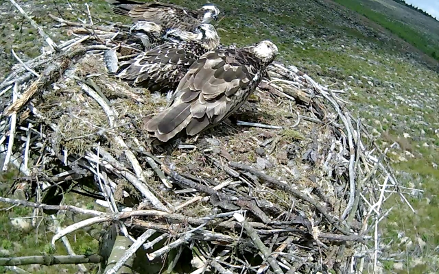 37 has moved too abranch behind the nest edge after leaving a fish (c) Forestry Commission