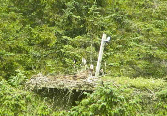 the chick looks towards the water (c) Forestry Commission