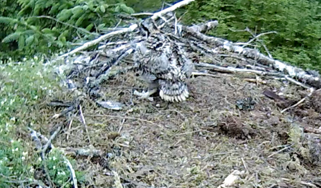 the Nest 1 chick just about gets to its feet (c) Forestry Commission