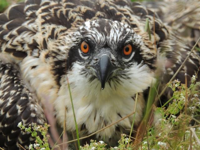 A fine looking osprey (c) Joanna Dailey