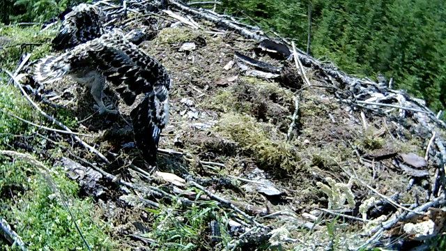 one of several of wing exercises (c) Forestry Commission