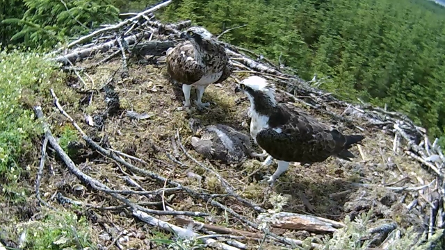 YA in the middle of adding sticks to the nest (c) Forestry Commission