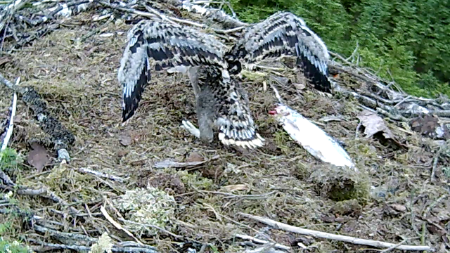 Looking more and more like an osprey (c) Forestry Commission