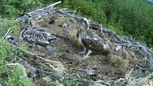 the chick is full (c) Forestry Commission