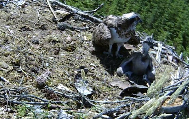 Mrs YA shelters the chick (c) Forestry Commission