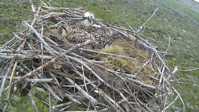 Is that nest big enough for training wing flapping? (c) Forestry Commission