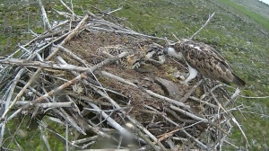 Mrs 37 feeds the chicks on I July (c) Forestry Commission