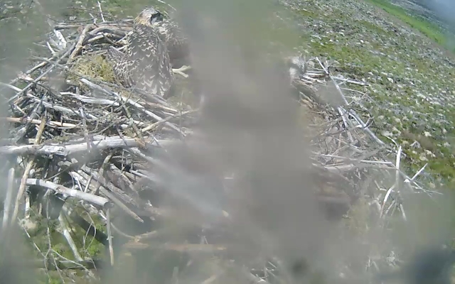 Two chick heads and one big chick foot poke out from the splodge (c) Forestry Commission